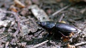 Олень жука проползает на том основании сток-видео