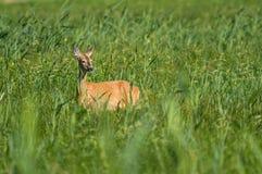 Олень косуль в высокой траве стоковые фотографии rf