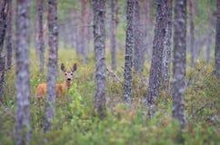 Олень косуль в сосновом лесе стоковое фото