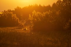 Олень косуль в теплом утре освещает стоковая фотография rf