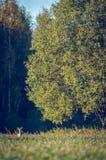 Олень косуль стоя в высокорослой траве стоковая фотография