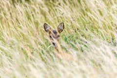 Олень прячет в высокорослой траве стоковое изображение rf