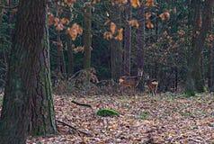 2 оленя в лесе Стоковое Изображение