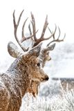 2 оленя в снеге обозревая долину Стоковые Изображения RF