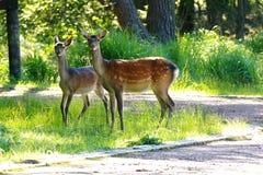 2 оленя готовя небольшой путь на kogen Ebino, Кюсю, Японии стоковое изображение rf