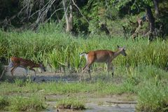 2 оленя на стороне реки Стоковые Фотографии RF