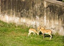 2 оленя пася в зоопарке на красивый солнечный день осени стоковые фотографии rf