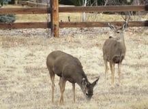 2 оленя просматривая в поле зеленой поячы Стоковые Фото