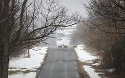3 оленя стоя на туманной дороге зимы стоковые изображения rf