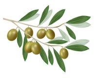 оливка ветви зеленая реалистическая Стоковая Фотография RF
