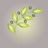 оливка ветви Стоковое Фото