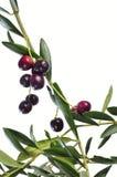 оливка ветви Стоковая Фотография
