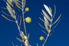 оливка ветви Стоковые Изображения RF