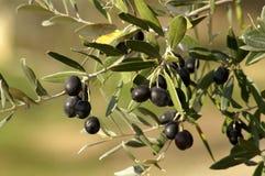 оливка ветви Стоковое фото RF