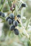 оливка ветви Стоковое Изображение RF