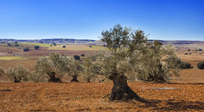 Оливка в Castile-La Mancha, Испании. Стоковые Фотографии RF
