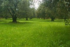 оливка поля Стоковые Изображения