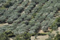 оливка Провансаль природы рощи стоковые фото