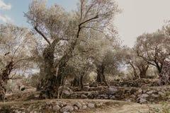 оливка рощи старая стоковое фото rf