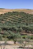 оливка рощи Стоковое Фото