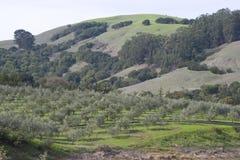 оливка рощи Стоковые Фото