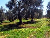 оливка рощи Стоковые Изображения RF