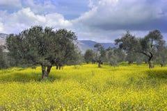 оливка рощи стоковые фотографии rf