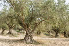 оливка рощи Стоковая Фотография RF