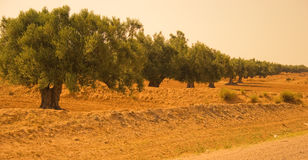 оливка сада Стоковая Фотография RF