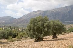 оливка сентябрь kefalonia 2006 рощ Стоковые Фото