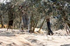 Оливка с трапами Стоковое Изображение RF