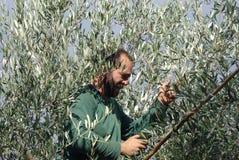 оливка хлебоуборки Стоковые Изображения RF