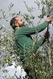 оливка хлебоуборки Стоковое Изображение