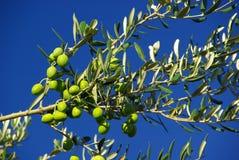 Оливка 04 Стоковые Изображения