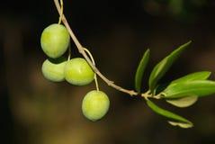 Оливка 05 Стоковые Изображения RF