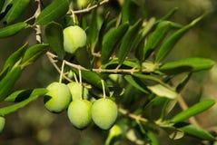 Оливка 06 Стоковое фото RF