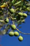 Оливка 09 Стоковые Изображения RF