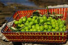 Оливка 22 Стоковые Изображения RF