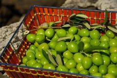 Оливка 23 Стоковая Фотография