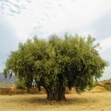 оливка стоковое изображение