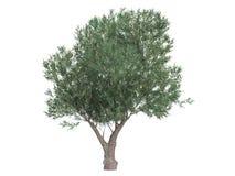оливка olea europaea Стоковое Изображение