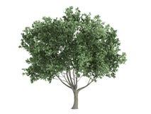 оливка olea europaea Стоковые Фото
