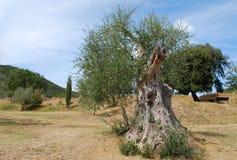 оливка tree Стоковое Изображение