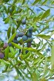 оливки ветви Стоковое фото RF