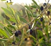 Оливки в утре 2 Стоковые Фото