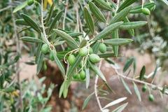 Оливки Израиля зеленые стоковые фотографии rf