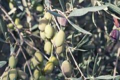 Оливки на ветви оливкового дерева Стоковая Фотография
