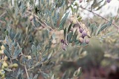 Оливки на ветви оливкового дерева Стоковое фото RF