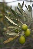Оливки на ветви Стоковая Фотография