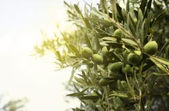 Оливки на дереве стоковые изображения rf